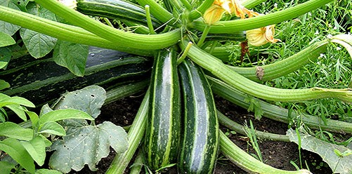 courgettes-501x248